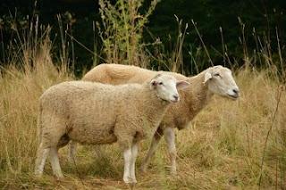 En komik Fıkralar - Temel Fıkraları - İki Koyun - komiklerburada
