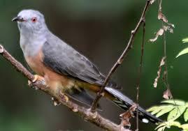 Readme Burung Kedasih Si Burung Parasit