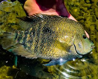 Josh Wright, Rio Grande Cichlid, Fly Fishing For Rio Grande Cichlid, Texas Fly Fishing, Fly Fishing Texas, Texas Freshwater Fly Fishing, TFFF, Pat Kellner, Year of the Rio, #YOTRio2021
