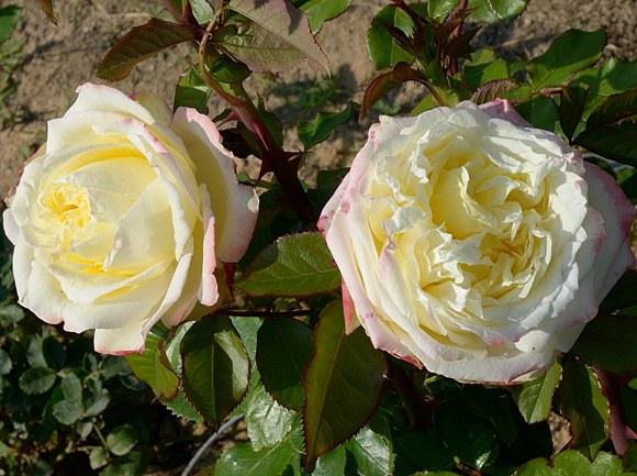 Athena сорт розы Кордес фото купить саженцы Минск питомник