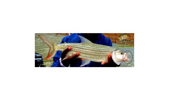 سمكة كلب الملوحة