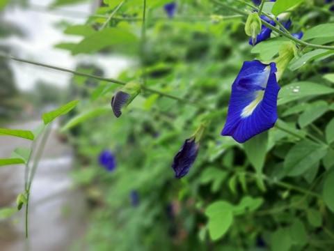 Hoa Đậu Biếc - Sắc màu đang thu hút giới trẻ