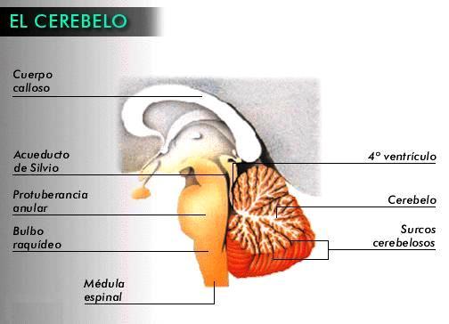 Ilustración del cerebelo del cuerpo humano y sus partes