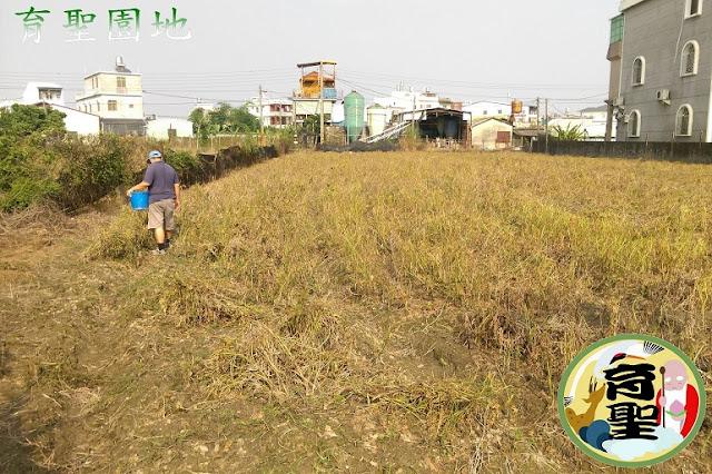 紅豆自然乾燥枯黃期16週
