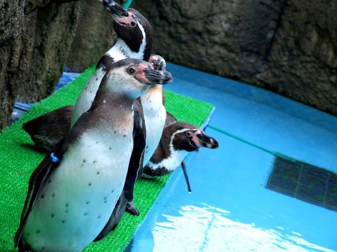 091 #ペンギン #水族館 #動物 #風景 #鳥