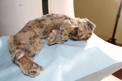 Il cucciolo di leone rupestre trovato con la testa del lupo del Pleistocene.