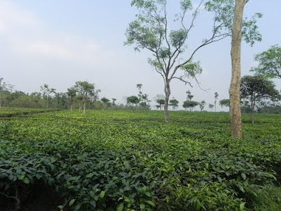Hansqua Tea Estate in terai