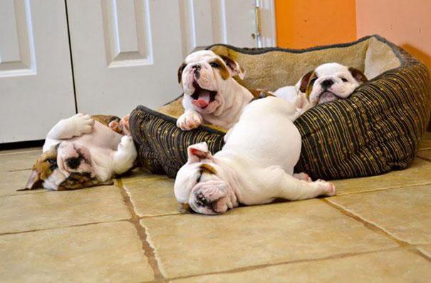bulldog-puppy-cute-dog-photography-2