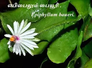Epiphyllum baueri flower