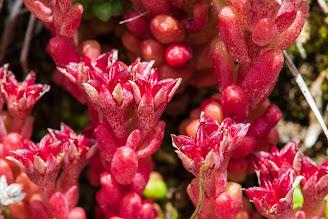 [Crassulaceae] Sedum atratum – Dark Stonecrop (Borracina verde scura)