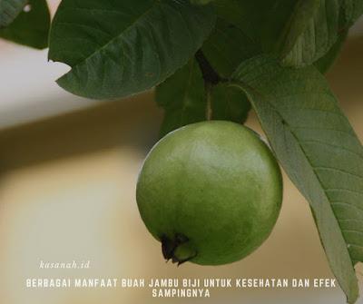 efek samping dari buah jambu biji