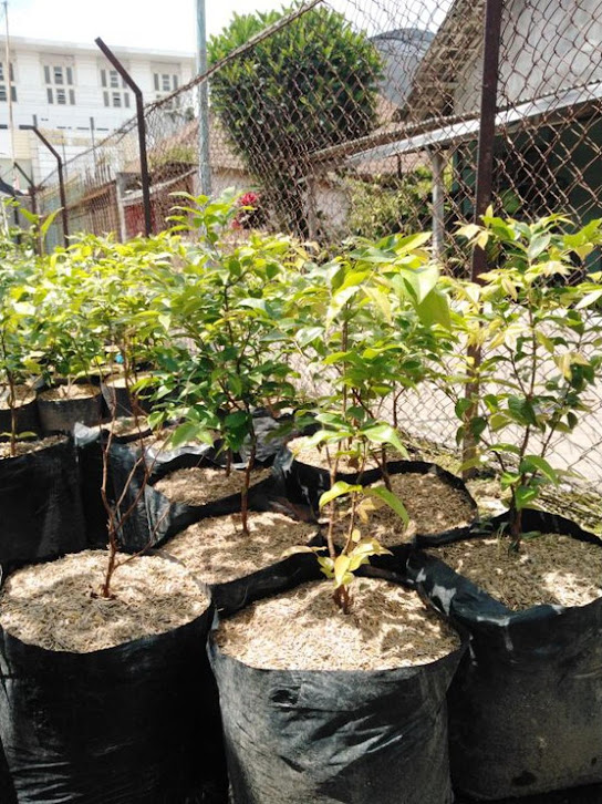Bibit Anggur Pohon Preco Jawa Timur