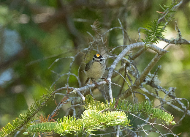 Golden-crowned Kinglet - Hulbert Bog, Michigan, USA