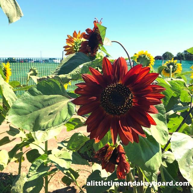 Burgundy sunflowers add fascinating blooms to Von Bergen's Country Market