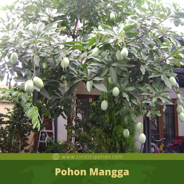 Ciri Ciri Pohon Mangga