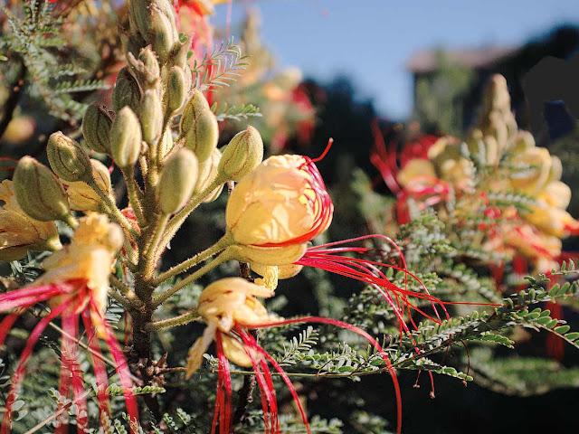 Barba de chivo (Caesalpinia gilliesii)
