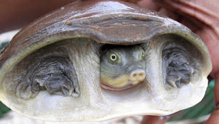 Rescatan en India más de 6.400 tortugas destinadas al mercado negro