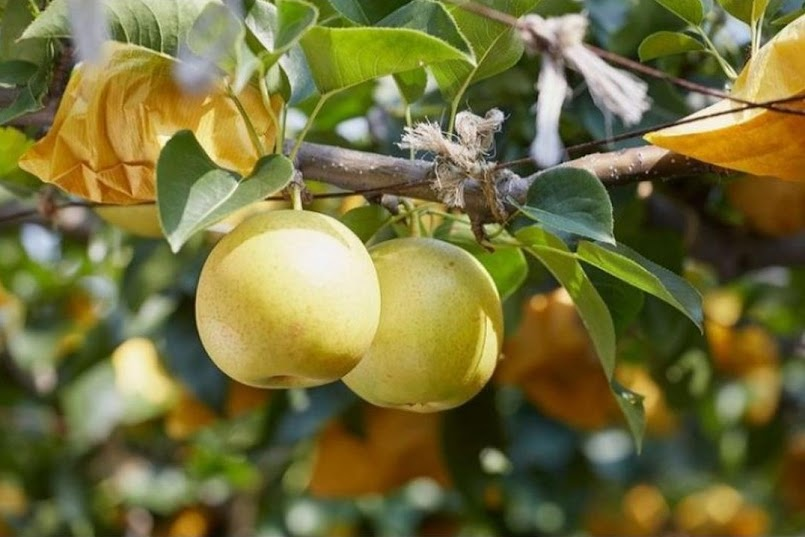Bibit pir buah super unggul Papua Barat