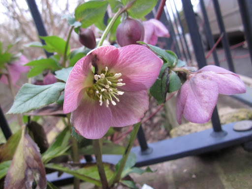 Clump of hellebores gifted by J from choir