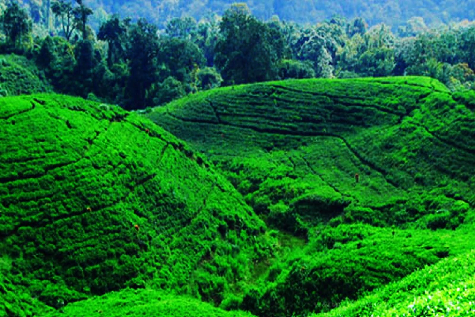 Gambar Kebun Teh Jamus Ngawi Wisata Jamus Ngawi Tempat Wisata Indonesia