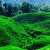Agrowisata Kebun Teh Jamus Ngawi Jawa Timur