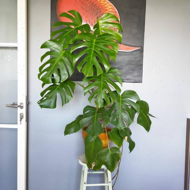 jenis-tanaman-monstera-borsigiana