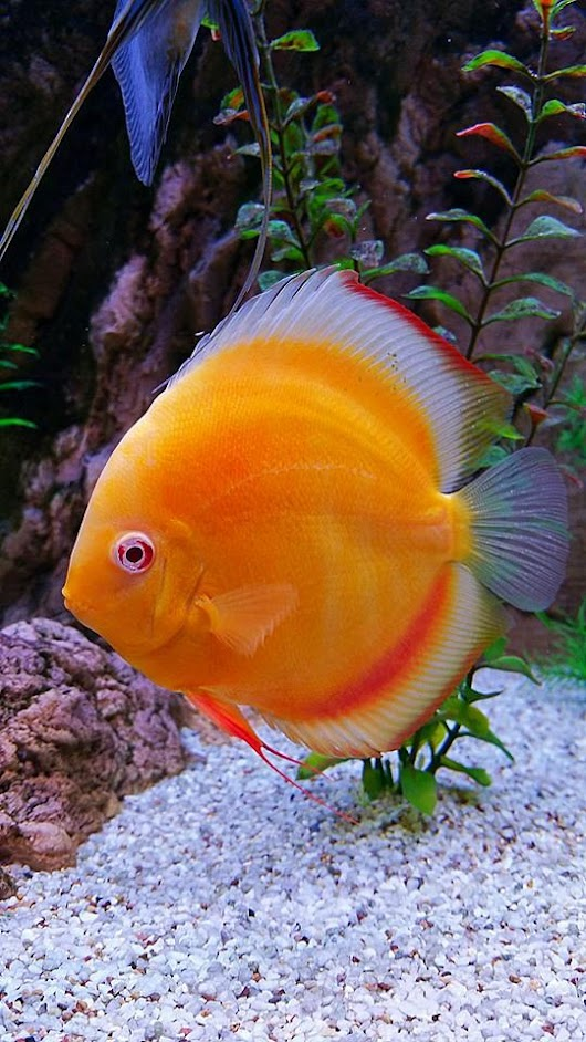 Can you keep Discus fish ?