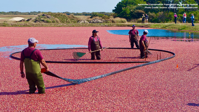 men wading out in the water, collecting cranberries