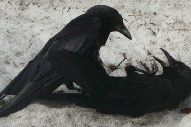 alasan allah memilih burung gagak sebagai guru pertama umat manusia