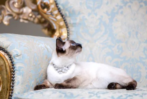 mekong bobtail cat - all you want to know about mekong bobtail cats