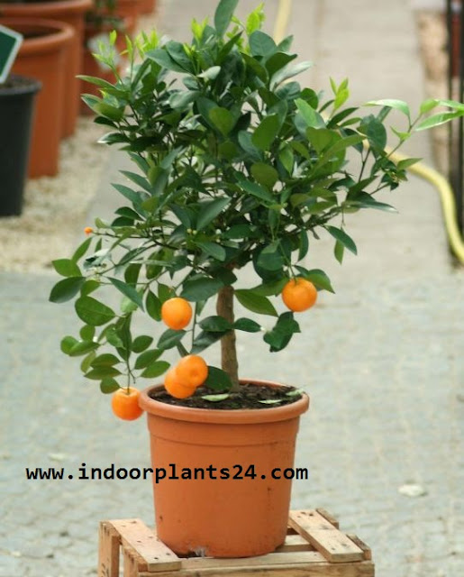 ClTROFORTUNELLA X MICROCARPUS Rutaceae HOUSE INDOOR PLANT IMAGE