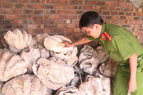 Quảng Ngãi Phát hiện nơi tàng trữ trái phép 34 vỏ sò tai tượng khổng lồ