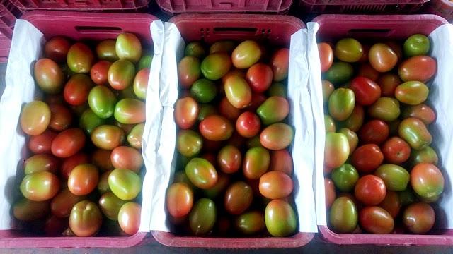 Cultivo protegido auxilia na produção de tomates