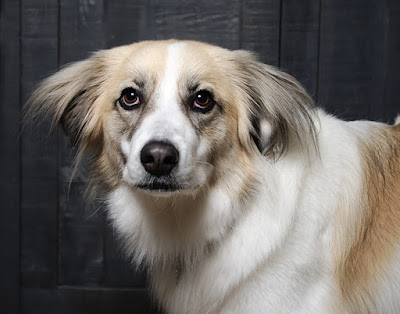 A brown and white dog with fluffy ears is looking off to the side
