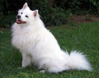 Indian Spitz dog picture
