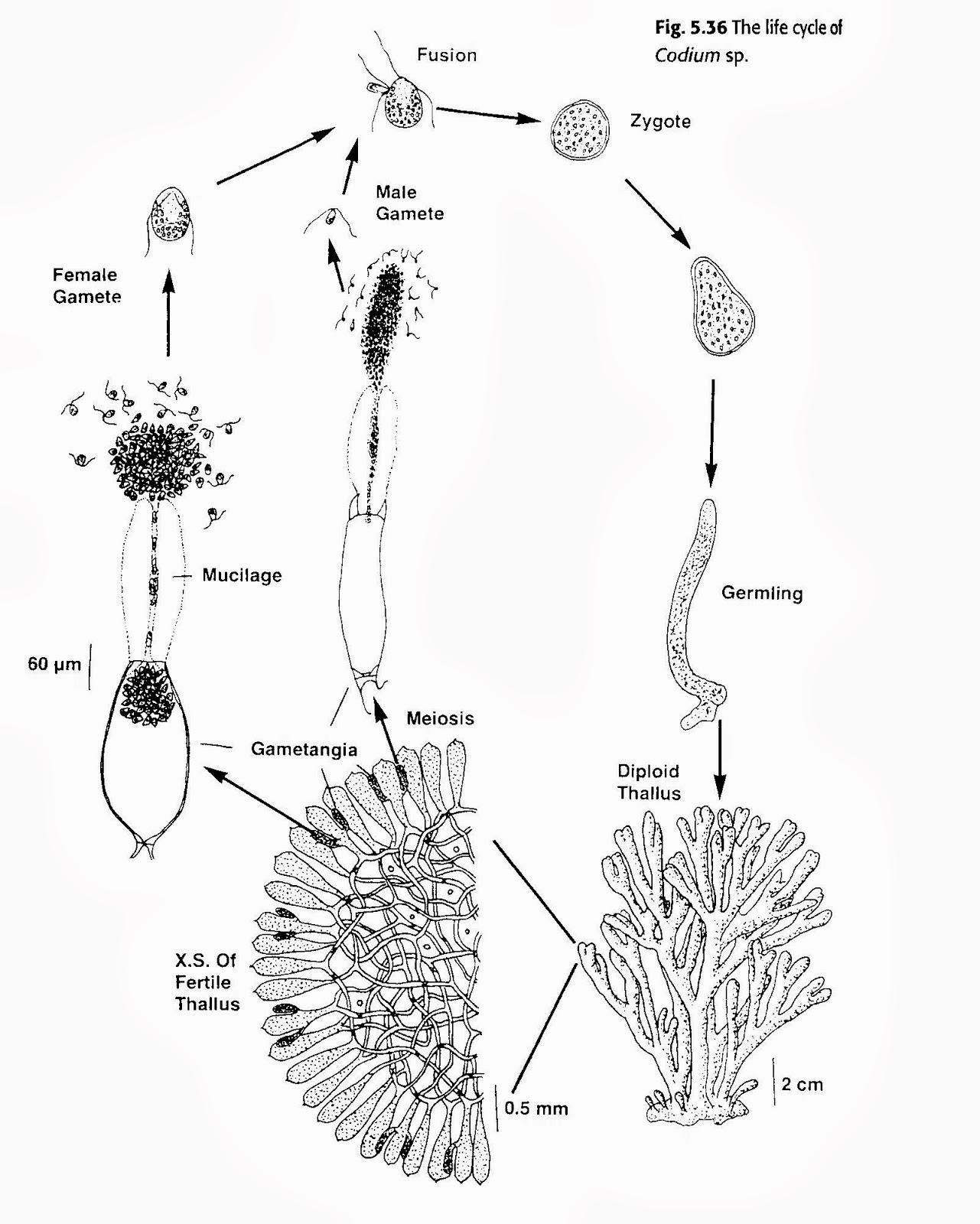 Green Algae Life Cycle Diagram
