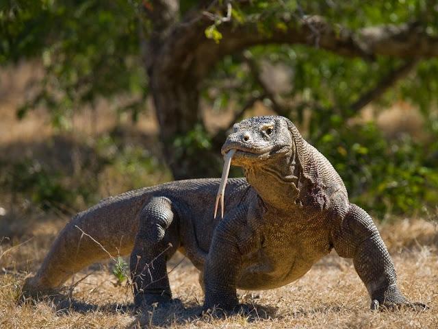 Komodo Dragon, The World's Largest Living Lizard