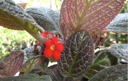 Cara Budidaya Tanaman Hias Begonia