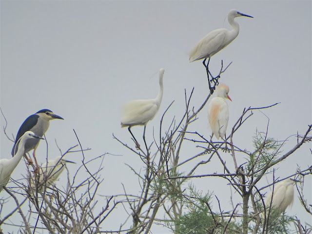 Six nesting species in the colony of herons and cormorants in Divjaka