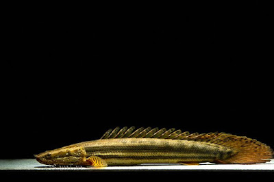 Polypterus bichir bichir ( Palmas PBB ) Ikan naga termahal