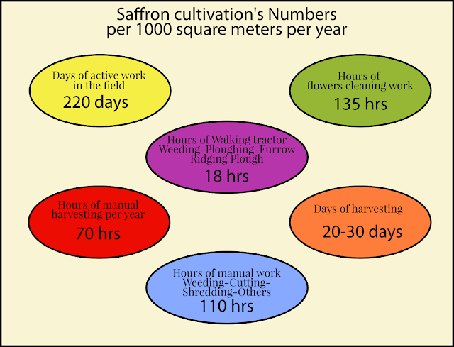 saffron's cultivation numbers