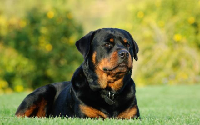 rottweiler puppy price in Noida, rottweiler puppy sale Noida, rottweiler puppy Purchase Noida, rottweiler dog purchase Noida, rottweiler dog sale Noida