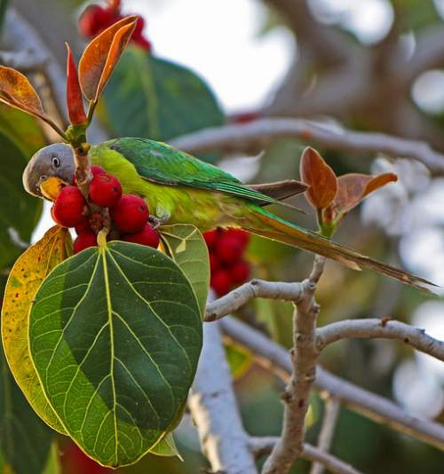 Indian birds - Grey-headed parakeet - Psittacula finschii