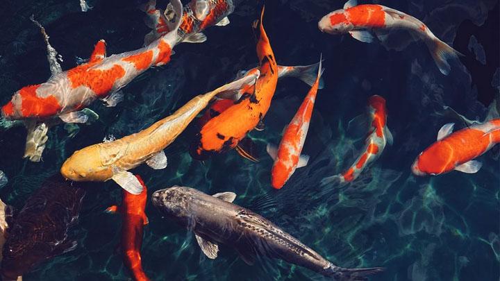 buy bred in captivity pet fish