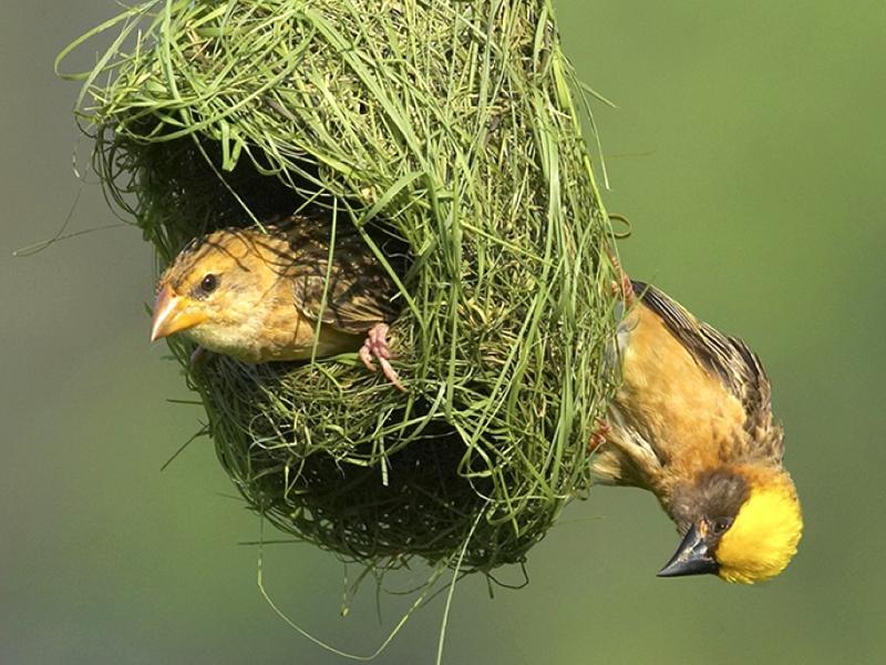 Nest Birds Wallpapers - Entertainment Only Bird Nest With Bird
