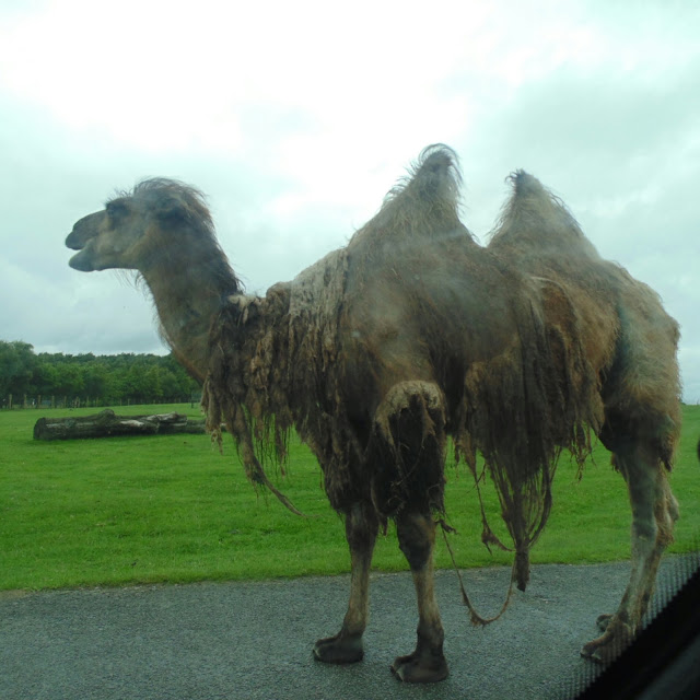 Knowsley safari park, camel
