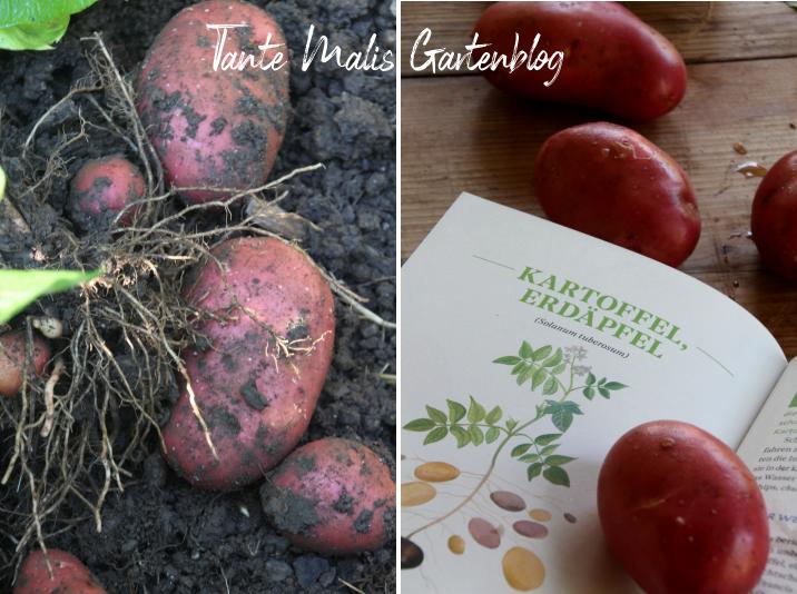 erntefrische kartoffeln und Buch