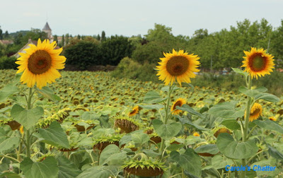 Carole's Chatter: Sunflowers near Issigeac