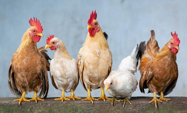 Potensi usaha ayam petelur omset jutaan