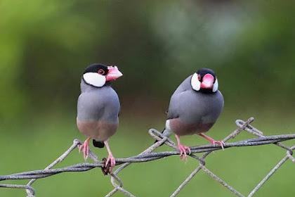 Cara Ternak Burung Gelatik Jawa Supaya Hasil Anakan Mantul